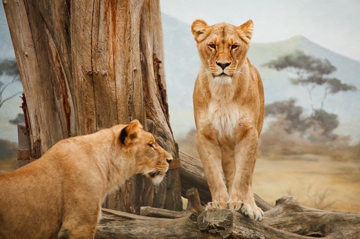 ¿Cuál es el Significado de Soñar con Leones?
