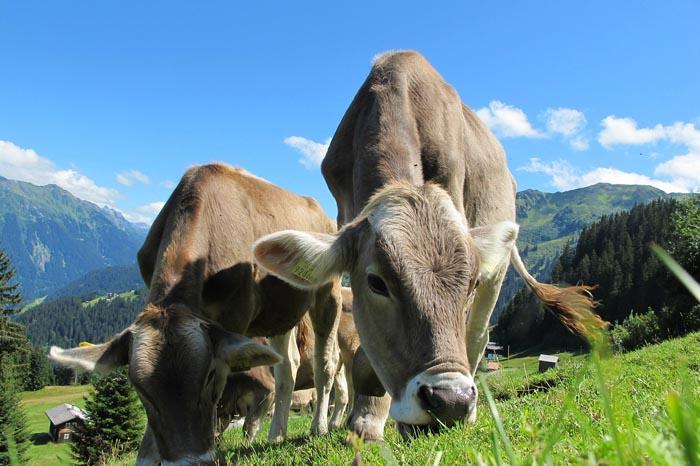 ¿Cuál es el significado de Soñar con Vacas?