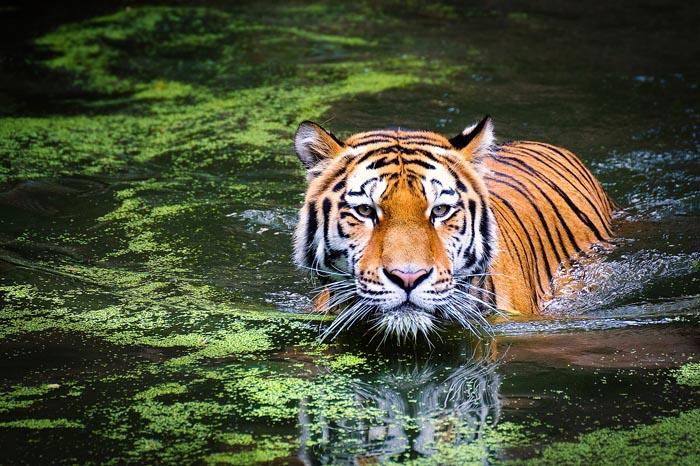 ¿Cuál es el Significado de Soñar con un Tigre?