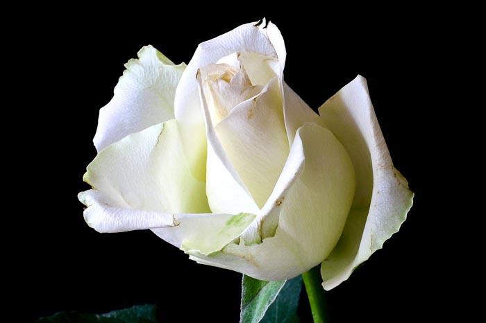 ¿Qué significa soñar con rosas blancas?