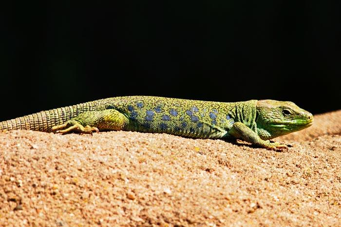 ¿Qué significa soñar con lagartos y lagartijas?