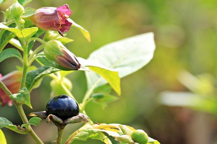 Propiedades de la Planta Belladona