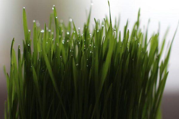 Hierba de Trigo propiedades y Contraindicaciones